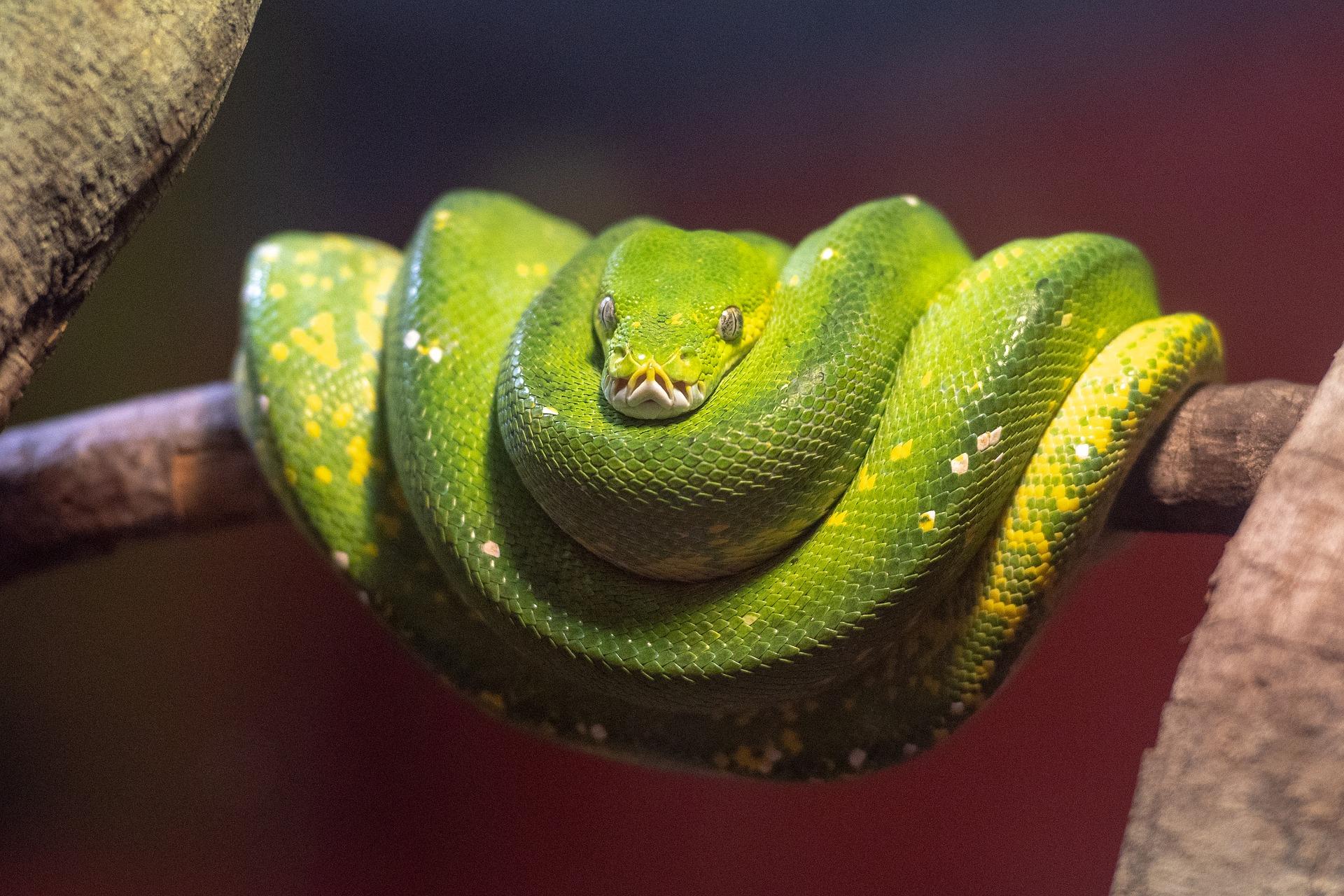 pythonilll