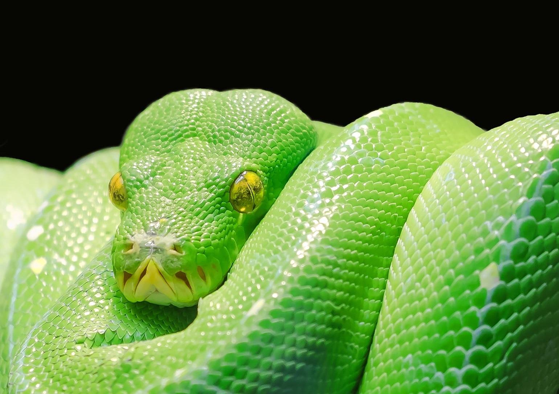 pythonillll